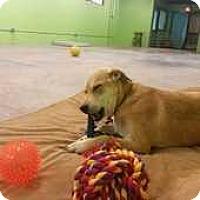 Labrador Retriever Dog for adoption in Elmsford, New York - Jan (John)