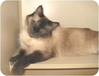 Siamese Cat for adoption in Mesa, Arizona - Carmella