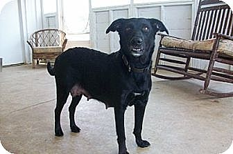 Flat-Coated Retriever/Labrador Retriever Mix Dog for adoption in Tunica, Mississippi - PATCHES