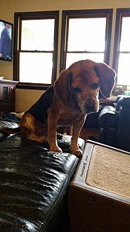 Beagle Dog for adoption in Codorus, Pennsylvania - Dave