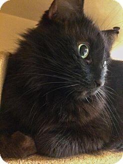 Maine Coon Cat for adoption in Grand Ledge, Michigan - Badia