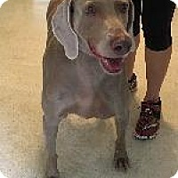 Adopt A Pet :: Sassy - Fayetteville, AR