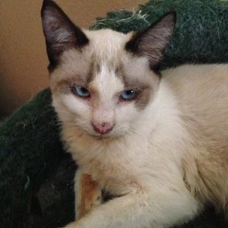 Snowshoe Cat for adoption in Austin, Texas - Babydoll
