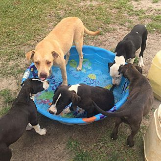 Labrador Retriever/Pit Bull Terrier Mix Dog for adoption in Shaw AFB, South Carolina - Lizzie