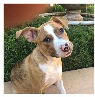 Boston Terrier/Bulldog Mix Puppy for adoption in Moosup, Connecticut - LUCY/ETHEL