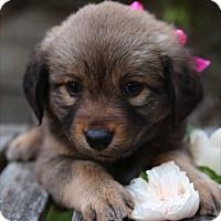 Adopt A Pet :: Cinderella - La Habra Heights, CA