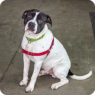 American Pit Bull Terrier Mix Dog for adoption in Berkeley, California - Bob *Adoption Fee Waived*