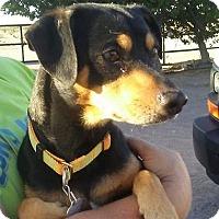 Adopt A Pet :: Kiazer - Las Vegas, NV