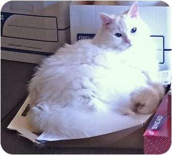 Persian Cat for adoption in Deerfield Beach, Florida - Chloe
