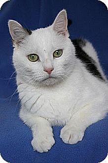 Domestic Shorthair Cat for adoption in Eldora, Iowa - Deuce