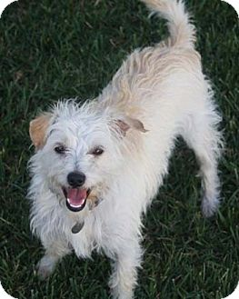 Terrier (Unknown Type, Small)/Fox Terrier (Toy) Mix Dog for adoption in Mission Viejo, California - WESLEY