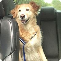 Adopt A Pet :: Layla - Denver, CO