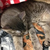Domestic Shorthair Cat for adoption in Fresno, California - Nuni