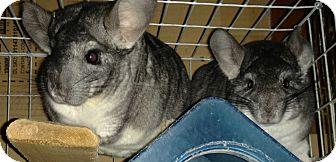 Chinchilla for adoption in Granby, Connecticut - Blacky & Junior