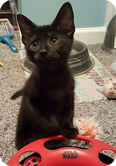 Domestic Shorthair Kitten for adoption in Highland, Indiana - Miles