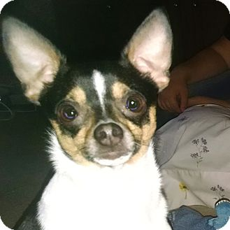 Rat Terrier Mix Dog for adoption in kennebunkport, Maine - Cruz - in Maine