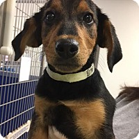Adopt A Pet :: Sadie - Cashiers, NC