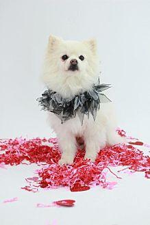 Pomeranian Dog for adoption in Dallas, Texas - Frosty