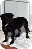 Labrador Retriever Mix Dog for adoption in Lewisville, Indiana - Radio