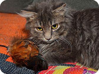 Domestic Longhair Kitten for adoption in Brooklyn, New York - Wonder