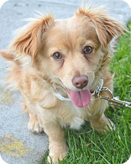 Spaniel (Unknown Type)/Corgi Mix Puppy for adoption in Los Angeles, California - Finn