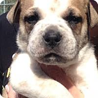 Adopt A Pet :: Winston - Marlton, NJ