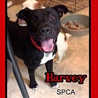 Adopt A Pet :: Harvey - Chatham, VA