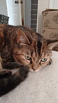 Domestic Shorthair Cat for adoption in Cambridge, Ontario - Tawny