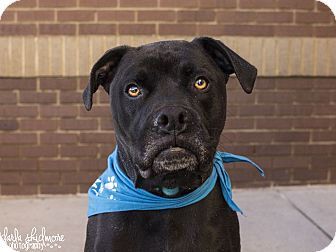 Boxer/Labrador Retriever Mix Dog for adoption in Charlotte, North Carolina - Duke