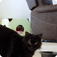 Adopt A Pet :: cinders(endearing) - Roseville, MN