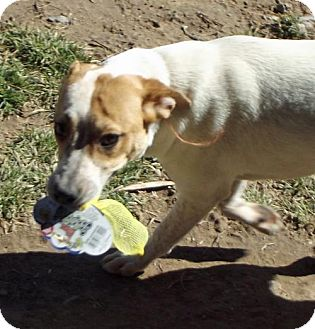 Australian Cattle Dog Mix Dog for adoption in Peralta, New Mexico - **TAFFY
