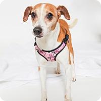 Adopt A Pet :: Speedy - Jupiter, FL