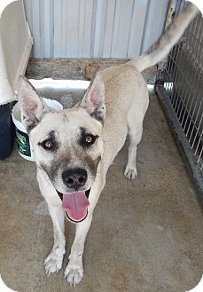 Shepherd (Unknown Type)/Siberian Husky Mix Dog for adoption in Charleston, Arkansas - Ricky