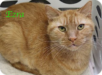 Domestic Shorthair Cat for adoption in Bradenton, Florida - Ezra