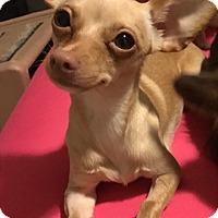 Adopt A Pet :: Libra bonded w/Gemini - Las Vegas, NV