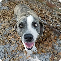 Adopt A Pet :: Admiral - Umatilla, FL