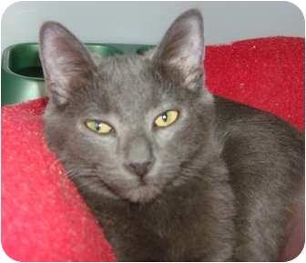 Domestic Shorthair Cat for adoption in Lake Charles, Louisiana - Baby