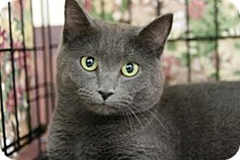 Domestic Shorthair Cat for adoption in Frederick, Maryland - Phoebe