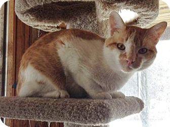 Domestic Shorthair Cat for adoption in Byron Center, Michigan - Molson