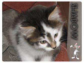 Domestic Shorthair Kitten for adoption in Washington, D.C. - Shadow