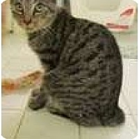 Adopt A Pet :: Maddox (bunny tail) - Arlington, VA