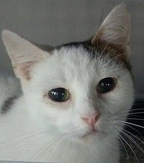 Domestic Shorthair Cat for adoption in Speedway, Indiana - Doyenne