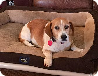 Beagle Mix Dog for adoption in Norman, Oklahoma - Donna