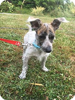 Jack Russell Terrier Mix Dog for adoption in Tumwater, Washington - Charlie