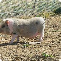 Adopt A Pet :: Bandit - Georgetown, KY