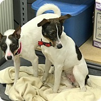 Adopt A Pet :: Bellamy - Indianapolis, IN