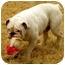 Photo 2 - English Bulldog Dog for adoption in Gilbert, Arizona - Harold*adoption pending!*