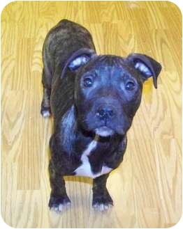 American Pit Bull Terrier Puppy for adoption in Claypool, Indiana - Mercy