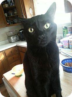 Domestic Shorthair Cat for adoption in Horsham, Pennsylvania - Bubba