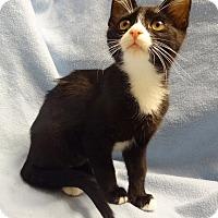 Adopt A Pet :: Athena - Bentonville, AR